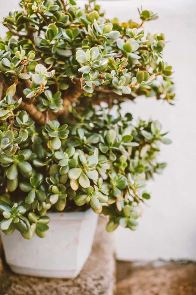 Jade Plant Crula Ovata Guide Learn About Types Care