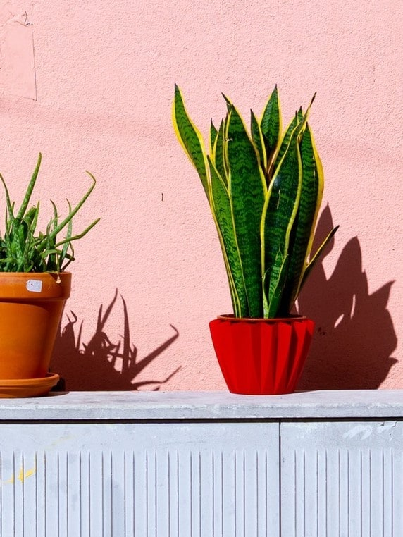 Snake Plant (Sansevieria Trifasciata) Guide - Learn About