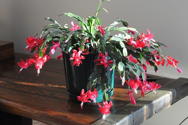 How To Care For Christmas Cactus.Christmas Cactus Schlumbergera Guide Learn About Types