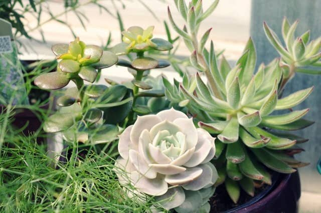 Succulent Pruning Guide Why When And How To Prune Succulents